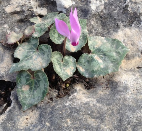 cyclamen in rock.jpg